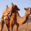Camel in Wadi Rum (jordan) — Stock Photo #10709467