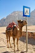 Camel in Wadi Rum desert (jordan) — Stock Photo