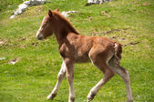 Foal running on a summer pasture — Stock Photo