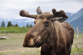 Wild moose, Alaska — Stock Photo