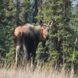 Wild moose on Denali national park, Alaska - Stock Photo