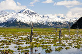 Pond on the Kenai Peninsula covered by water lily, Alaska — Stock Photo