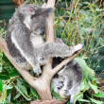 Koala having a rest — Stock Photo