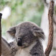 Koala having a rest — Stock fotografie