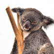 Koalhaving rest — Stock Photo #8640339