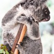 Koala in a tree — Stock Photo #8640377