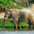 Stock Photo: Male Africelephant, KazingChannel (Uganda)