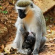 Royalty-Free Stock Photo: Vervet monkey with a baby