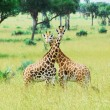 Giraffes, Murchison Falls National Park (Uganda) — Stock Photo