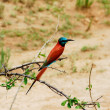 Carmine Bee-eater (Merops nubicus) - Stock Photo
