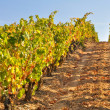 Vineyard at Autumn, La Rioja (Spain) — Stock Photo