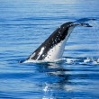 Humpback Whale in Hervey bay, Queensland, Australia — Stock Photo