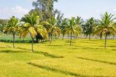 Rice field in Karnataka, India — Stock Photo