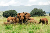 Herd of elephants, Kidepo Valley National Park (Uganda) — Stock Photo