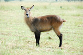Waterbuck (Female), Kidepo Valley NP (Uganda) — Stock Photo