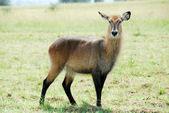 Waterbuck (Female), Kidepo Valley National Park (Uganda) — Foto de Stock
