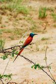 Carmine Bee-eater (Merops nubicus) — Stock Photo