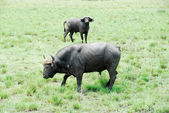 Buffalo , Murchison Falls National Park (Uganda) — Stock fotografie