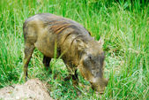 Male warthog in Murchison Falls National Park (Uganda) — Stock Photo