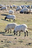 Flock of sheep at Urbasa range, Navarre (Spain) — Stock Photo