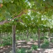 Stock Photo: Vineyard at Elqui valley, Chile