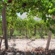 Vineyard at Elqui valley, Chile — Stock Photo #8848703