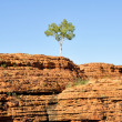 Lone tree in Kings canyon (Australia) — Stock Photo