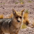 Stock Photo: Fox andean, Atacamdesert (Chile)
