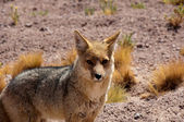Fox andean, Atacama desert (Chile) — Stock Photo