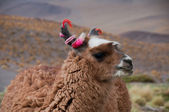 Llama, The Andes (Chile) — Stock Photo