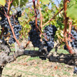 Grapes in a vineyard, La Rioja (Spain) — Stock Photo