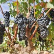 Stock Photo: Grapes in a vineyard, La Rioja (Spain)
