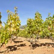 Vineyard, La Rioja (Spain) — Stock Photo