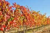 Vineyard at Autumn, La Rioja (Spain) — Stock Photo