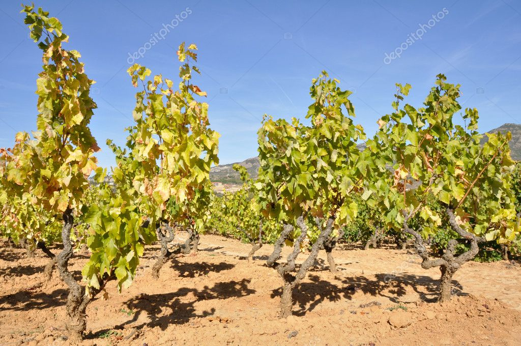 Vineyard, La Rioja (Spain) — Stock Photo #9003825
