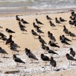 Variable Oyster Catcher, beach of New Zealand - Stock Photo