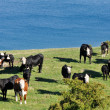 Cows near a lake — Stock Photo