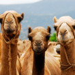 Stock Photo: Camels in Africa