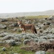 Simien wolf - Stock Photo