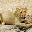 Stock Photo: Lioness in savannah, Tanzania