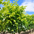 Vineyard at Spring, La Rioja  (Spain ) — Stock Photo