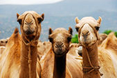 Camels in Africa — Stock Photo