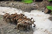 Kameler nära en flod — Stockfoto