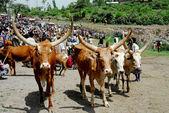 Cows in Ethiopia — Stock fotografie