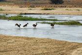 Impala, attraversando un fiume — Foto Stock