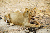 Lioness in the savannah, Tanzania — Stock Photo