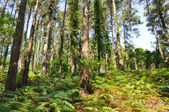 Forest with ferns, Basque Country — Stock Photo