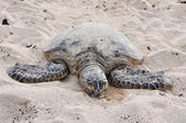 Hawaiian Green Sea Turtle at Kekaha Kai state park — Stock Photo