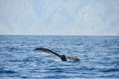 Humpback Whale in Lahaina, Maui, Hawaii — Stock Photo