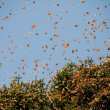 Monarch Butterfly Biosphere Reserve, Michoac(Mexico) — Stock Photo #9998816